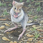 Here I am - Bettong